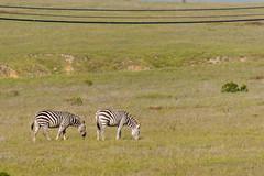 adventure(0.0), herd(0.0), animal(1.0), prairie(1.0), zebra(1.0), plain(1.0), mammal(1.0), grazing(1.0), fauna(1.0), savanna(1.0), grassland(1.0), safari(1.0), wildlife(1.0),