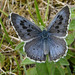 Large Blue (Tony Williams)