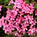Garland Flower, <i>Daphne cneorum</i> (David Morris)