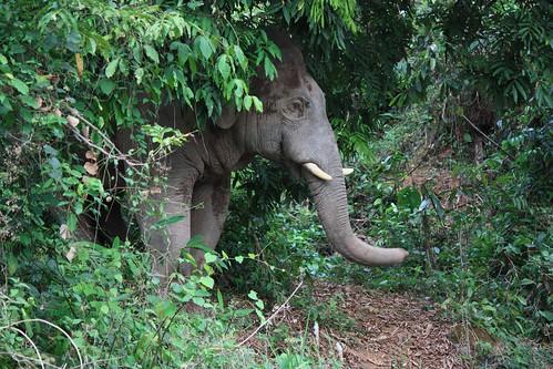 hark! a wild elephant!