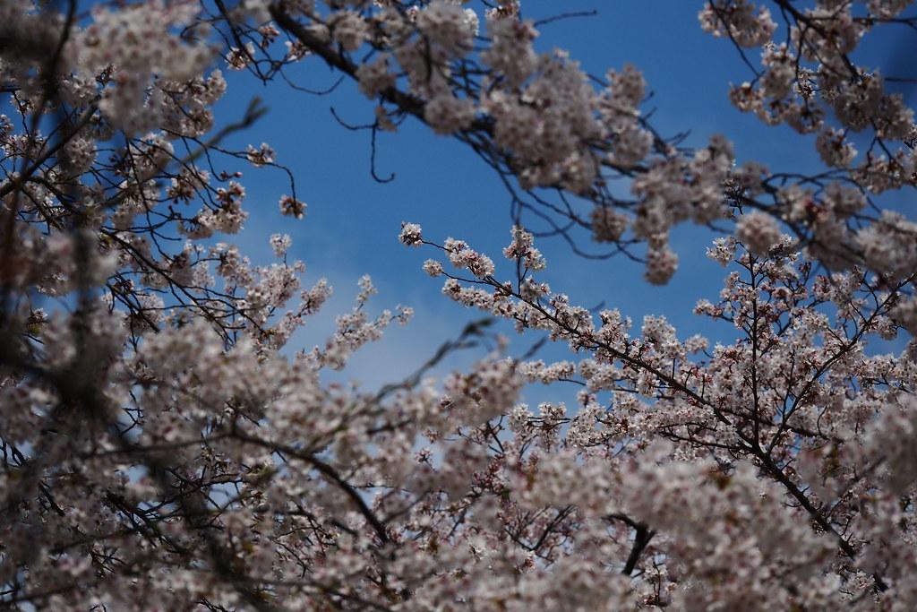 平野神社 櫻花