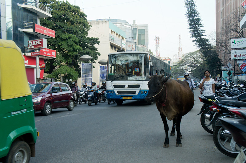 Cow on city road India