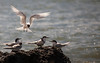 White_Fronted_Tern1