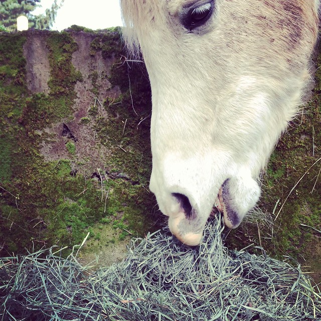 gray-horse-eating-hay