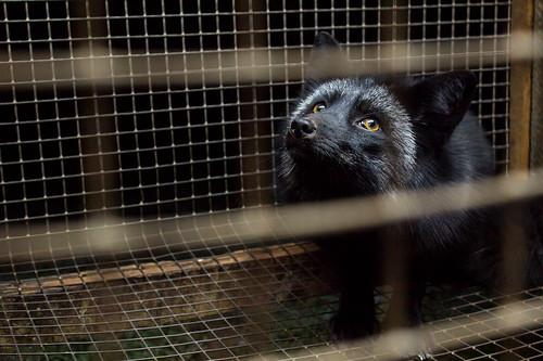 fur farming fox