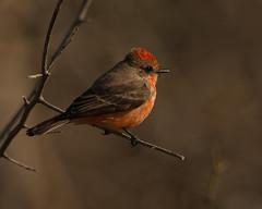 Vermillion Flycatcher, Immature Male