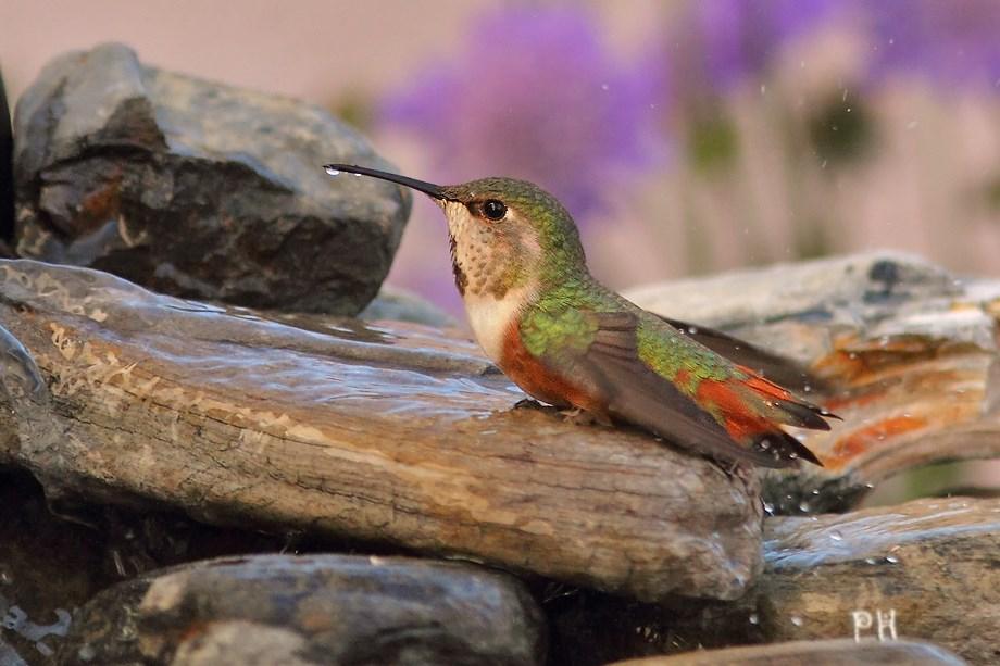 Allen's Hummingbird 030213