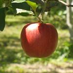 りんごやSUDAりんご実り