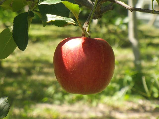 りんごやSUDAりんご実り_拡大
