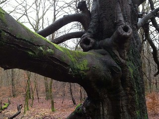 Elephant Savernake
