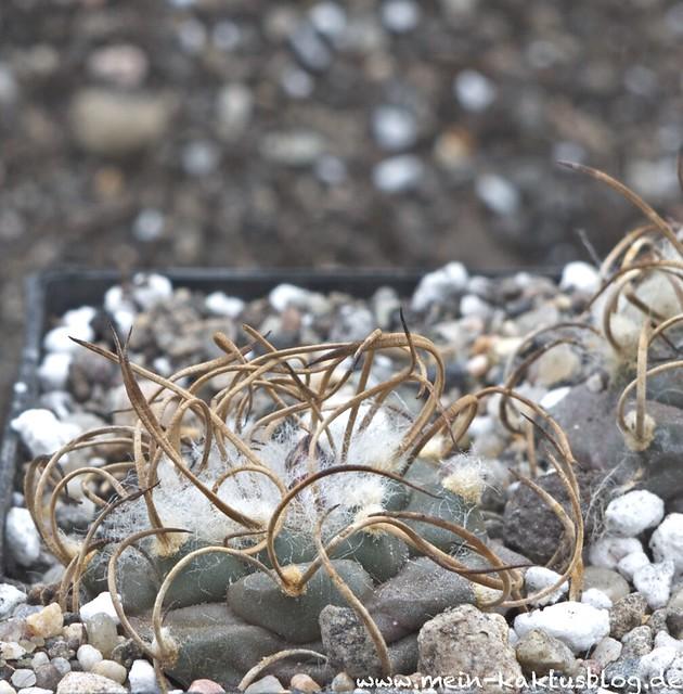 Turbinicarpus schmiedickeanus ssp. macrochele var. frailensis MK 90-285