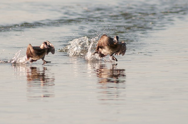 Ruddy Ducks walking on water