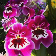 pansy, flower, orchid family, flora, petal,