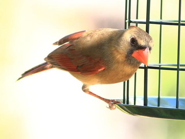 Northern Cardinal 20130310