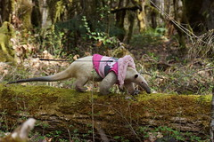 Pua crossing a log