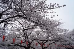 上野公園の桜 2013