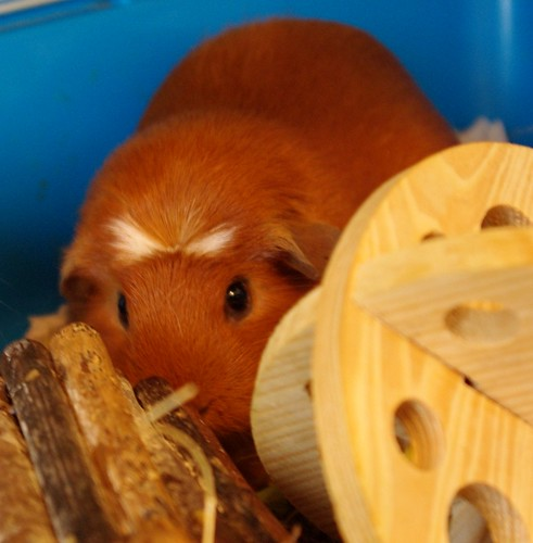 20130323-19_Tufty - Guinea Pig or Cavy by gary.hadden