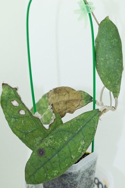 Hoya sp. Lata Iskandar A (SRQ 3138)
