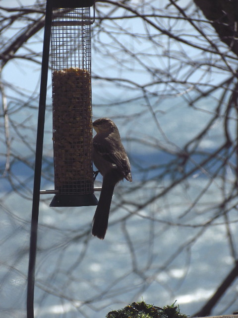Northern Mockingbird1 3:26:13