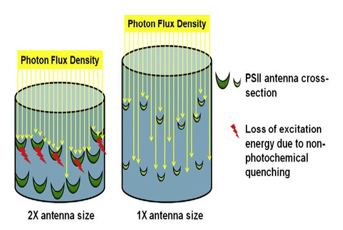 Shown here is a model for light absorption and use by algae as a function of antenna size.