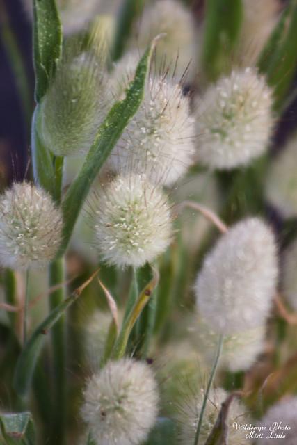 bunnytailgrass