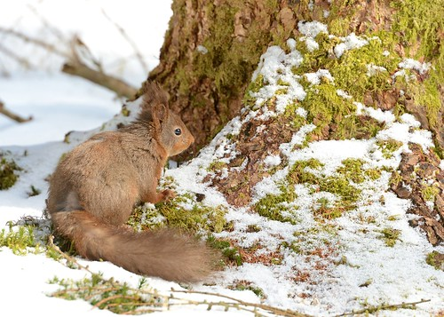 Snaizeholme Red Squirrel by Andy Pritchard - Barrowford