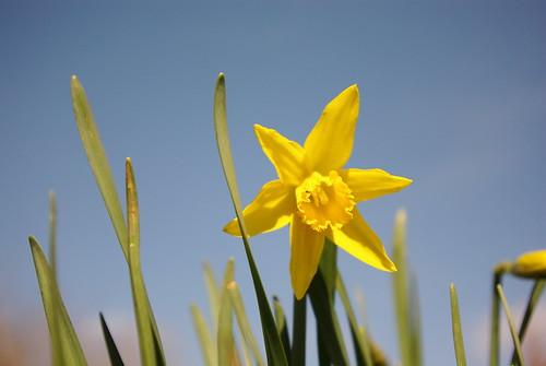 20130330-19_Daffodils - Cawston Rugby
