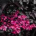 Black Elder Flower by чãvìnkωhỉtз