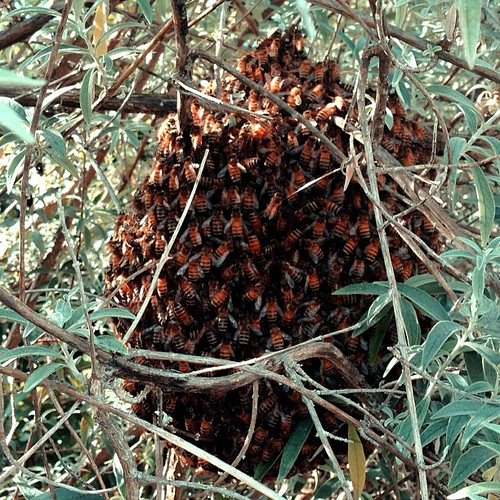 Our bee swarm - hoping they move on soon by Ed Bierman