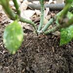 Garden Inventory: Aucuba Japonioca Variegata (Gold Dust Plant) - 5