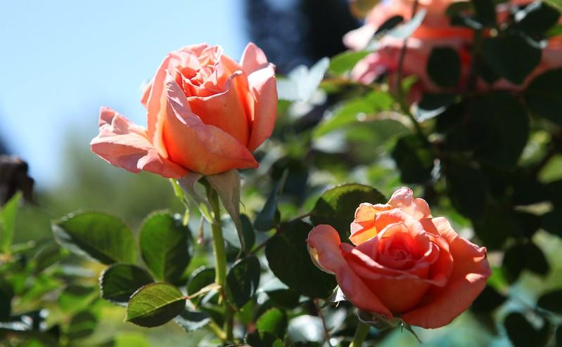 rose_088