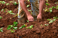 agriculture, sowing, field, leaf, soil, plant, green, crop, plantation,