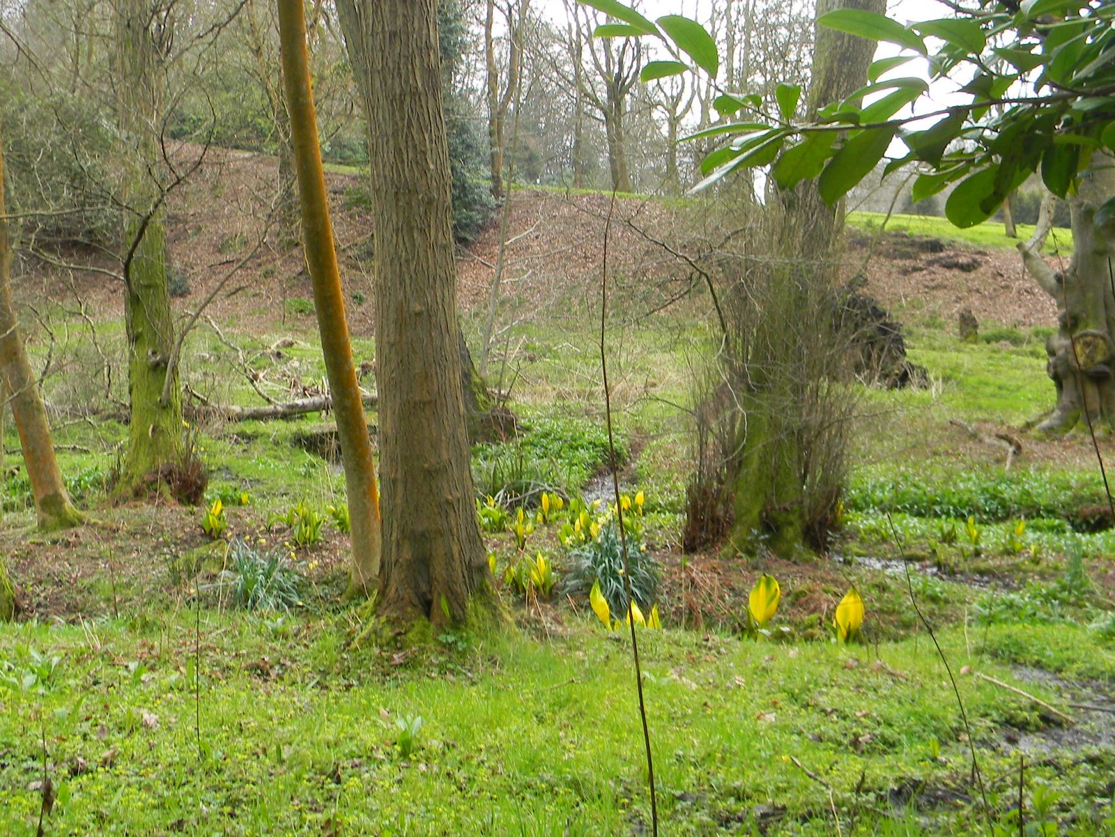 American skunk cabbage (The yellow stuff) Milford to Godalming