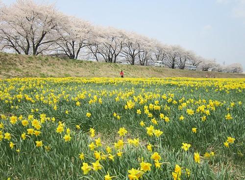 上川の水仙と桜 2013年4月16日11:15 by Poran111