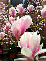 blossom, flower, magnolia, plant, flora, spring, pink, petal,