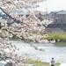 Sakura by Zamboni.