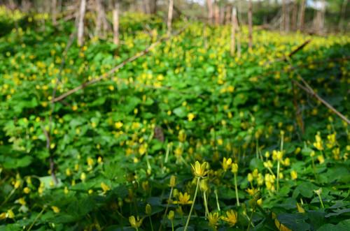 <p><i>Ranunculus ficaria</i>, Ranunculaceae<br /> Camosun Bog, Vancouver, British Columbia, Canada<br /> Nikon D5100, 18-55 mm f/3.5-5.6<br /> April 13, 2013</p>