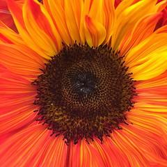 Sunflower 264/365 #sunflower #flowers #project365 #365 #nofilter