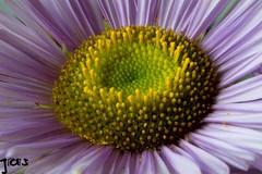 Purple heart , #wanderlust , #pollen , #environment , #perspective , #yellow , #Exposure , #bloom , #contrast , #Photography , #Nature , #outdoor , #garden , #color , #Light , #composition , #interesting , #Photographer , #flora , #Macro , #closeup , #upc
