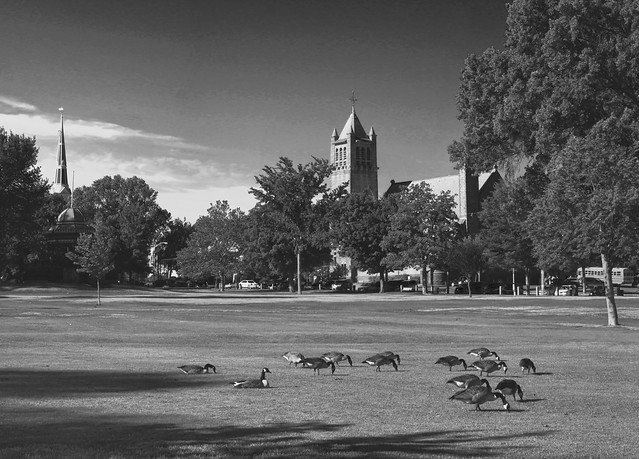 Geese on Wakefield lower common; Wakefield, MA (2016)