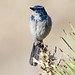 Coastal Western Scrub-Jay - Photo (c) BJ Stacey, some rights reserved (CC BY-NC)