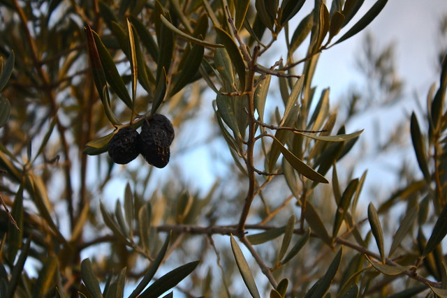 Olives in Jaén province, Spain