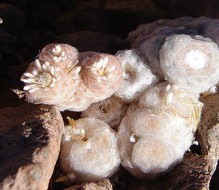 Chaetanthera cf. sphaeroidalis