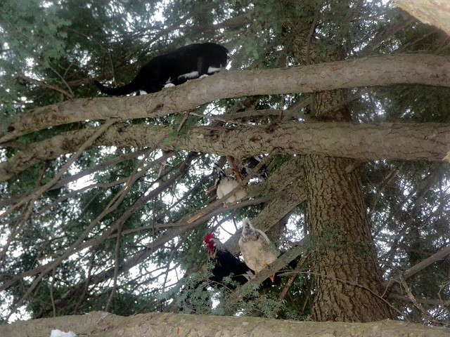 Chasing chickens in the tree
