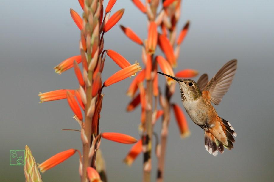 Allen's Hummingbird 021813-2