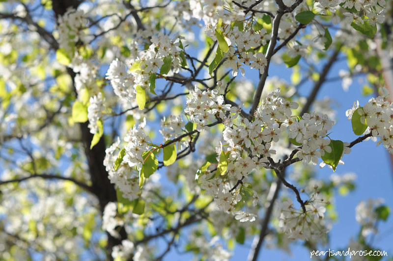 flowering_pear_web