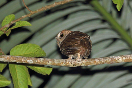 tanzania canonef100400mmf4556lisusm pembaisland fbwnewbird ngeziforest canoneos5dmkiii pembascopsowl otuspembaensis