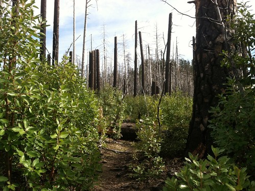 New growth under the burned forest