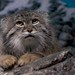 Small photo of Manul on the Rocks