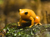 Golden Mantella by DaveKav
